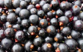 Schwarze Johannisbeeren sind voller gesunder sekundärer Pflanzenstoffe